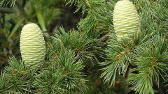 How to transplant a cedar