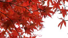 How to grow maple