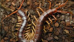 How to destroy a scolopendra