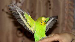Как перевозить попугая зимой