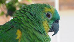 Простуда у попугая: как лечить