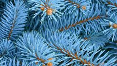 How to grow from seed blue spruce