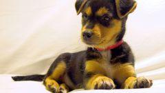Как приучить собаку к ошейнику
