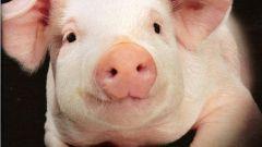 Как открыть свиноферму в 2018 году
