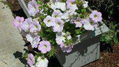 How to water the seedlings petunias