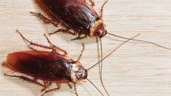 Как потравить тараканов