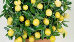 Lemon tree: how to make it to bear fruit
