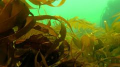 Как приготовить сушеную морскую капусту