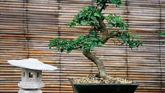 How to grow bonsai oak