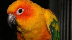 Как научить попугая петь