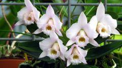 Как подрезать орхидею