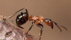 Как вывести красных муравьев