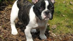 Как лечить собак от ушного клеща