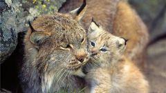 How to call a Bobcat