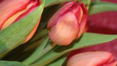Как вырастить цветы к 8 марта