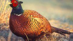 Как ощипать фазана