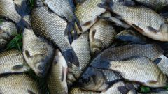 How to catch carp and crucian carp