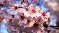 Как нарисовать цветок сакуры
