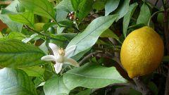 Как выращивать комнатный лимон