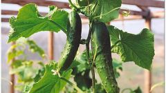 How to grow cucumbers in the winter in greenhouses