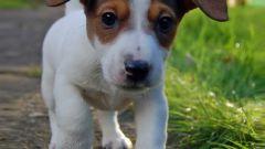 Как правильно воспитать щенка джек-рассел терьера
