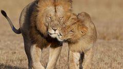 Как вернуть любовь Льва
