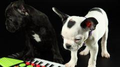 Как оформить щенкам родословную