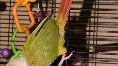 Как напоить попугая водой
