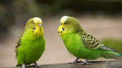 Как нарисовать волнистого попугая