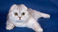 Как выбрать шотландского вислоухого котенка