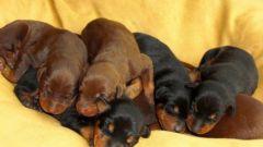 Как кормить щенка добермана