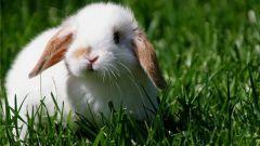 Как определить возраст декоративного кролика