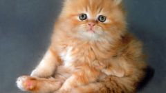 How to call a purebred kitten