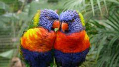 Как отличить попугая неразлучника-самца от самки