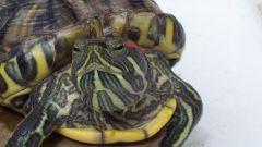 Как лечить глаза у красноухой черепахи