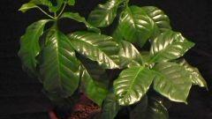 Как посадить кофейное дерево