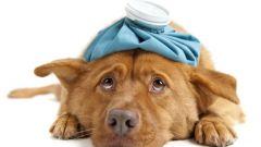 Как лечить зуд у собаки