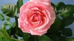 Как пересадить розу и ухаживать за ней
