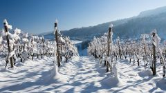 Как зимой укрывать растения