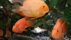 Как узнать пол рыбки