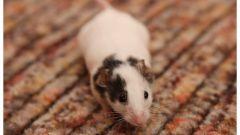 Как в квартире поймать мышь