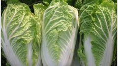 Как вырастить китайскую капусту