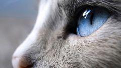 Как лечить кошку, если у нее слезятся глаза