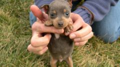 How to feed a puppy miniature Pinscher
