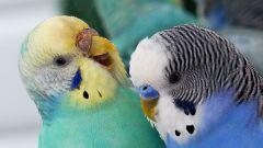 Как определить пол птенца волнистого попугая