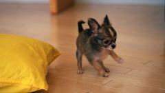 Как отличить щенка тойтерьера