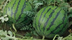 How to grow watermelons in Siberia