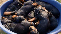 Как выбирать щенка из помета