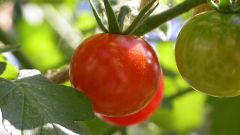 How to grow large tomatoes