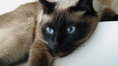 Как узнать, что у кошки температура